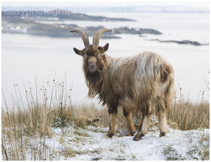 Wild goat in the Snow