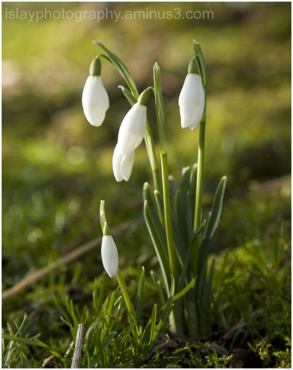 The First Snowdrops of the year