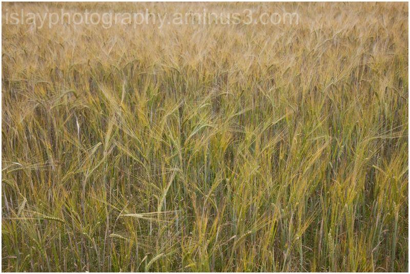 Ripening Barley 2
