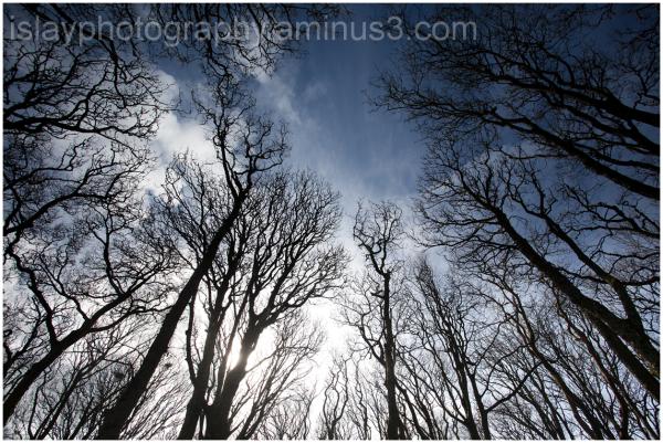 Trees at Loch Gruinart