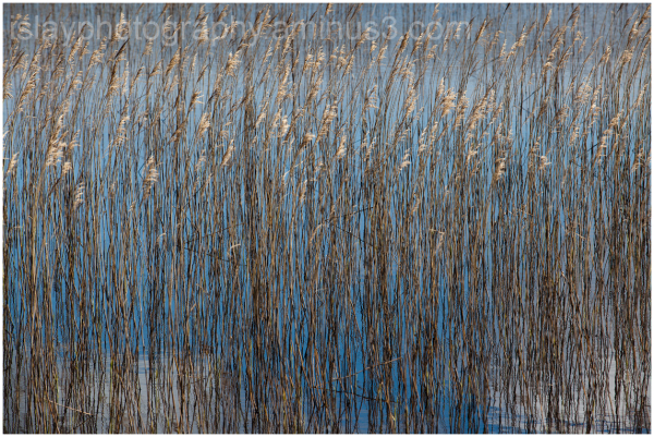 Reeds at Finlaggan 2