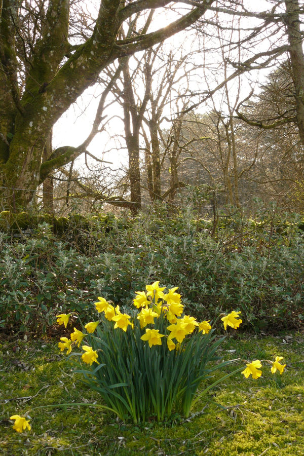 Daffodils in the Garden 1