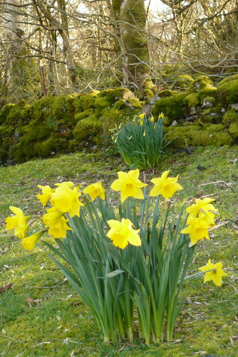 Daffodils in the Garden 2