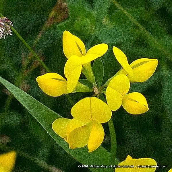Yellow Wild Clover