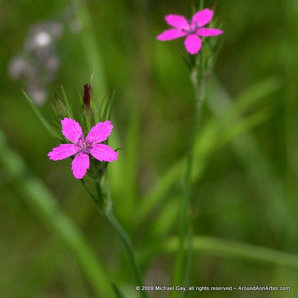 Wildflower Sparkle