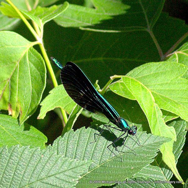 Ebony Jewelwing Damselfly (Male)