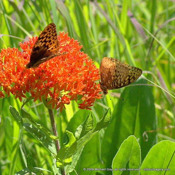 Great Spangled Fritilliary on Butterfly Flower