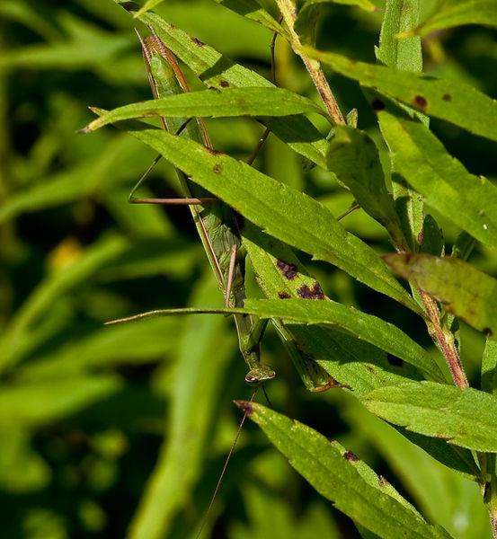 Stealthy Mantis