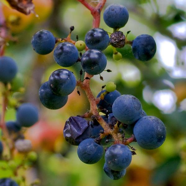 More Wild Grapes