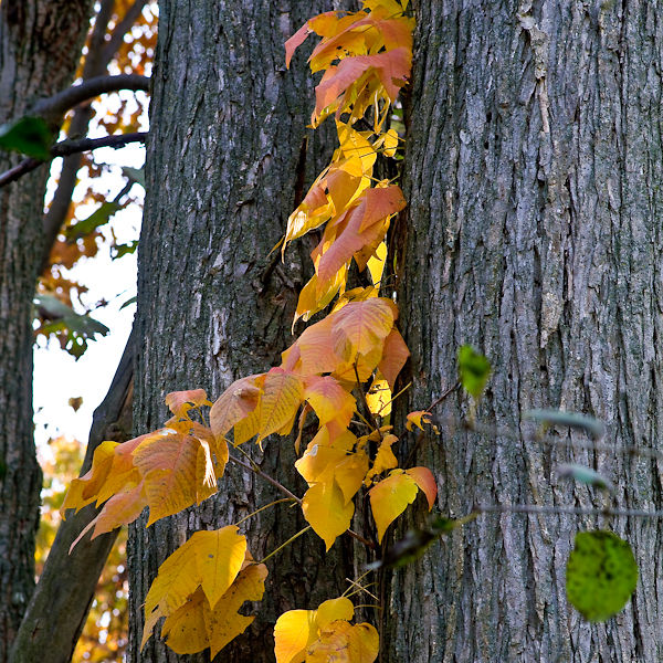 Fall Color: Poison Ivy
