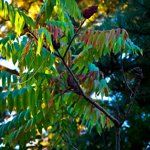 Early Fall Color (Staghorn Sumac)