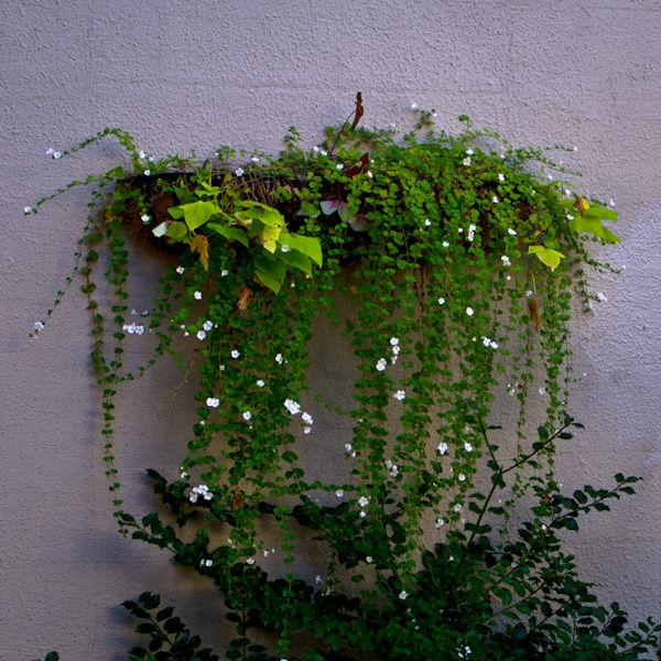 Wilting Wall Planter