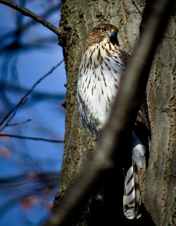 Brief Backyard Visitor: Coopers Hawk