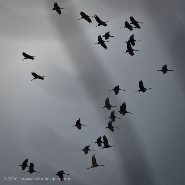 Circling Sandhill Cranes