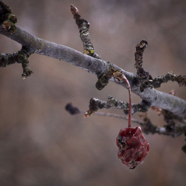 Buds and Crabapple