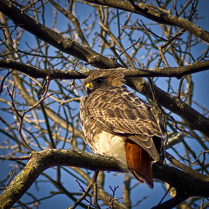 Red-Tailed Hawk in the Morning
