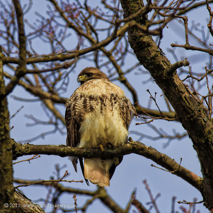 Visiting Red-tailed Hawk