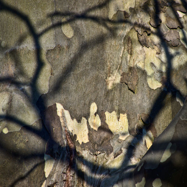Sycamore Shadows