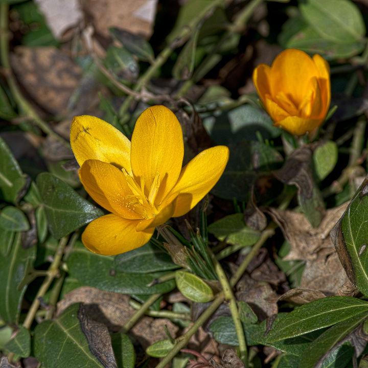 Early Spring Crocus