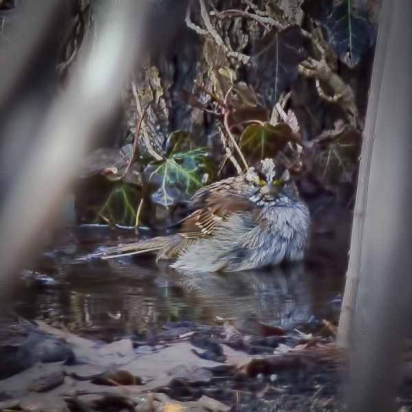 Bathing White Throated Sparrow