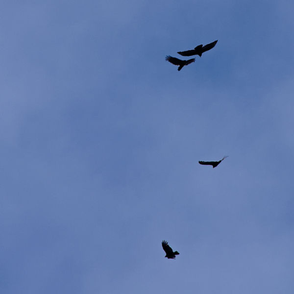 Vultures Reaching for a Thermal (Tax Day)