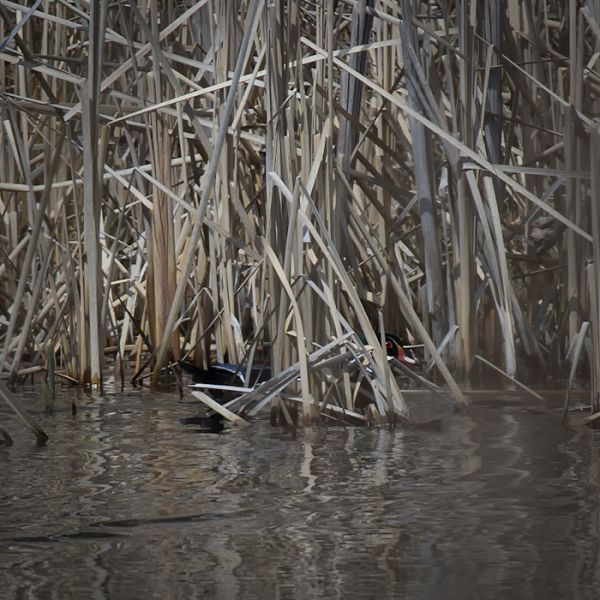 Woody in the Reeds