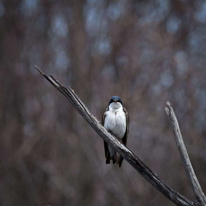 Gazing Tree Swallow