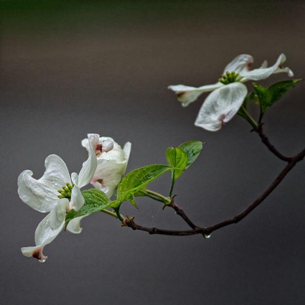 White Dogwood in the Rain
