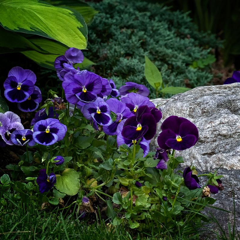 Vernacular Landscape with Pansies