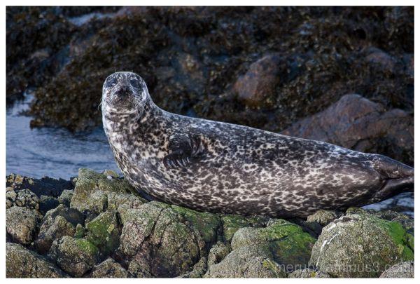 Seal at Portnahaven beach