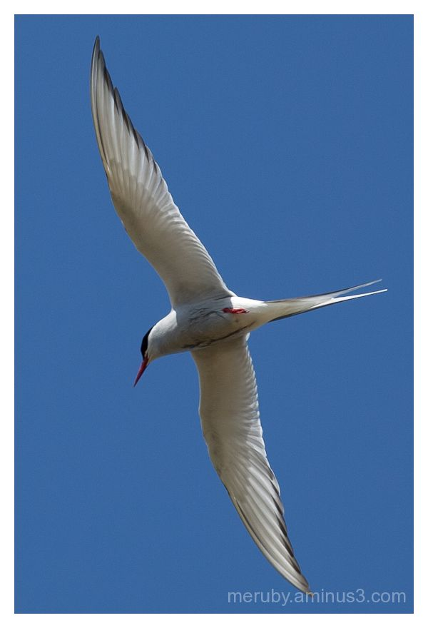 arctic tern on muck
