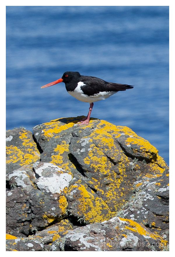 oyster catcher on muck