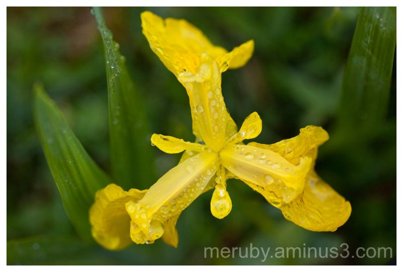 Iris with waterdrops