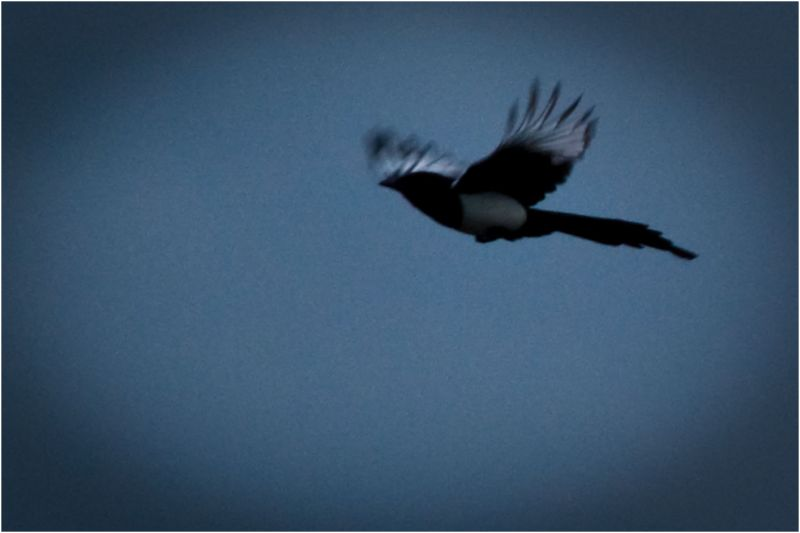 A magpie flying in the Air