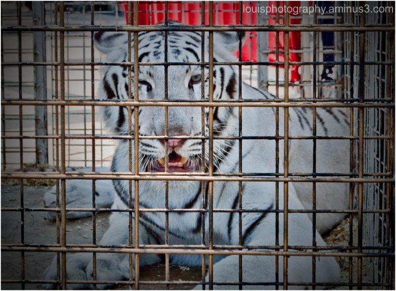 Tiger Blink