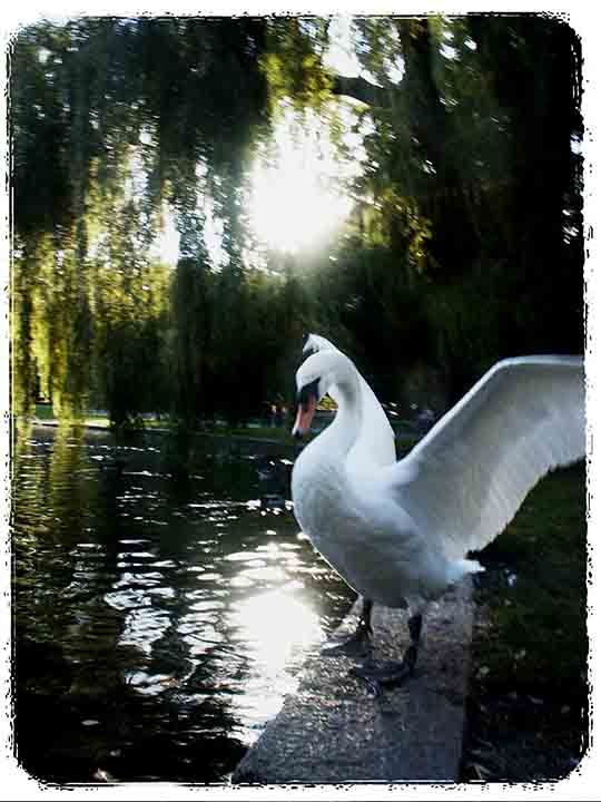 Swan of the Duck Pond