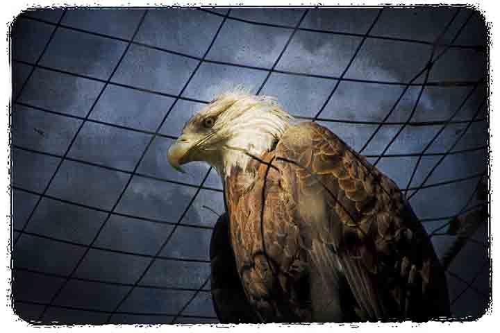 Columbus Zoo Eagle