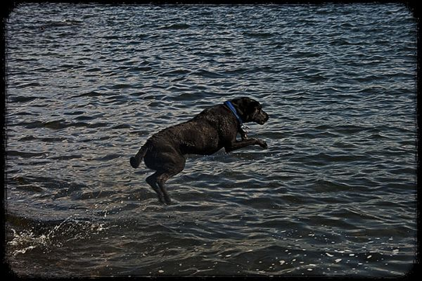 Leaping Labrador