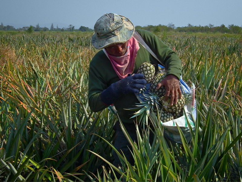 Pineapple harvester at work in Thailand