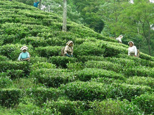 tea plantation in Sikkim