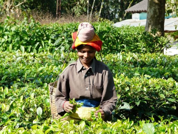lovely woman in a tea plantation of Assam