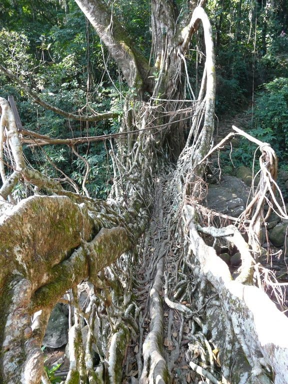 living root bridge in Cherrapunje - Meghalaya