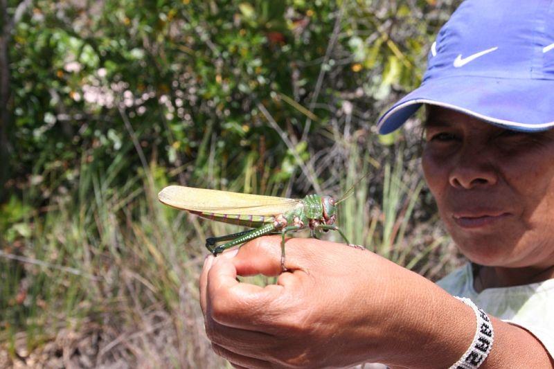 une sauterelle géante d'Amazonie