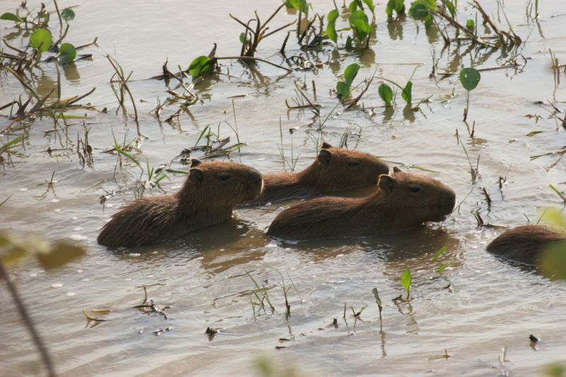 a capivari family take bath