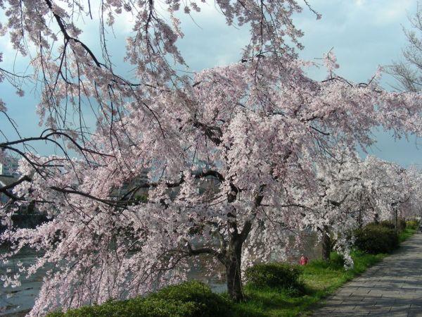 cherry tree flowers evening's