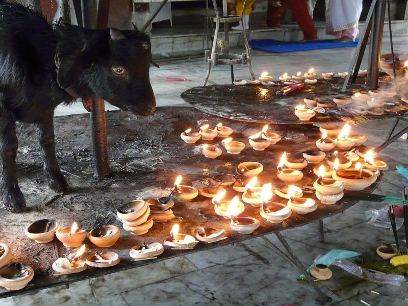 sacred animal in an indian temple in Assam