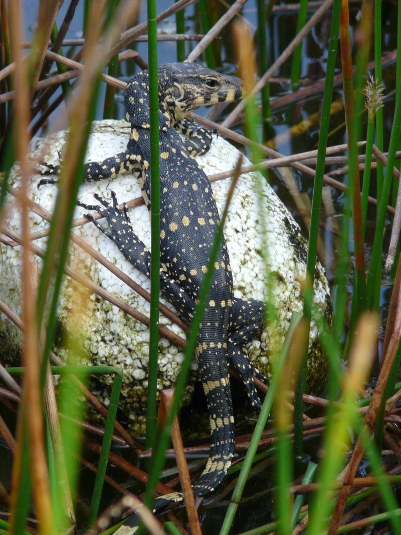 une salamandre se dore au soleil