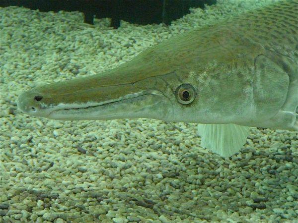 aligator fish