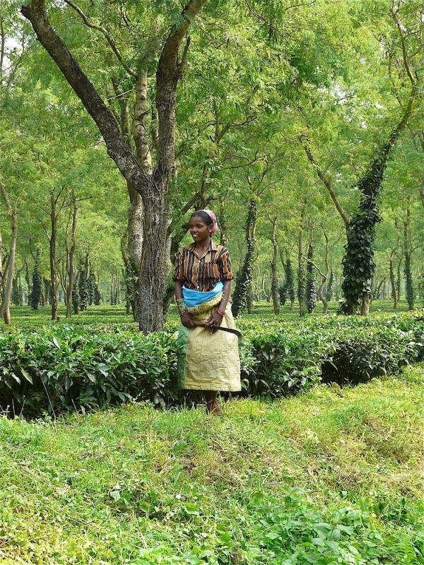 dans une plantation de thé en Assam