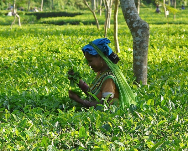 in a tea plantation , in Assam